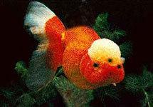 Золотая рыбка - Подводный мир - Обои для рабочего стола