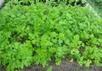 Поэтому нужно следить, чтобы посевы не зарастали.  Схема посадки и глубина заделки такая же, как и у моркови.